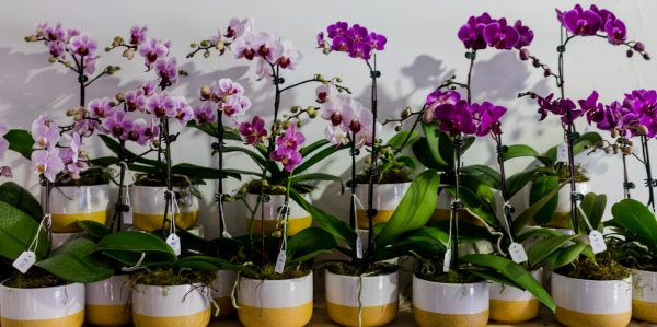 Small Phalaenopsis Orchid