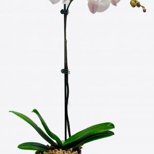 Tall Phalaenopsis Orchid