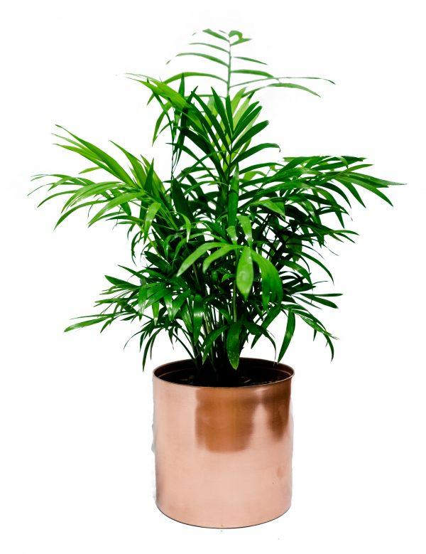 Medium indoor plant